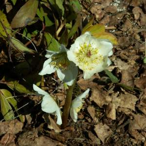 2017-03/helleborus-niger-julros-april.jpg