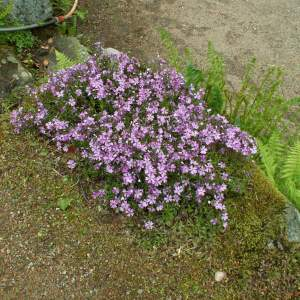 2017-03/phlox-sub-purple-beauty-mossflox-maj.jpg