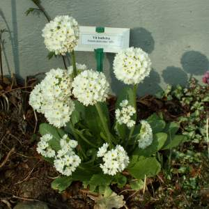 2017-03/primula-denticulata-alba-bollviva-april.jpg